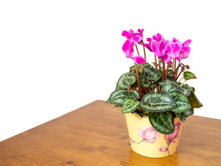 Cyclamen houseplant with pink flowers, domestic setting.