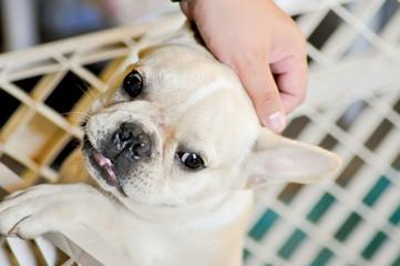 wail and wine french bulldog