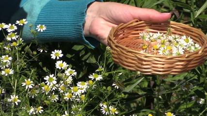 woman pick organic camomile in garden, domestic medicines