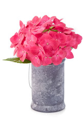 Hortensia hydrangea pink flower in a pot