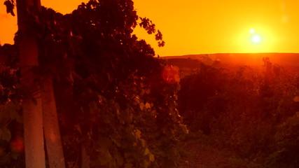 Glow of sunset over vineyard valley pan shot