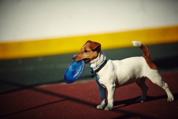 young Jack Russel Terrier with frisbee