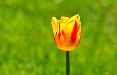 Sonnige Blume. Tulpe