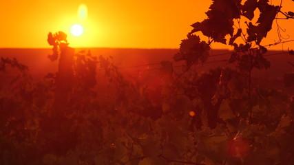Leaves of the grape vine in vineyard against setting sun