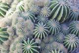 Cactaceae - 70479858