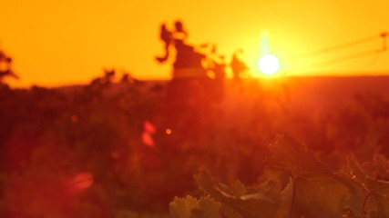 Grape leaves shining in rays of the setting sun over vineyard