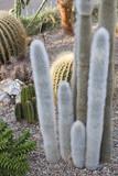 Cactaceae - 70480227