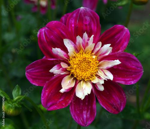 Foto Spatwand Dahlia Blüte