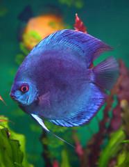 blue discus fish in aquarium