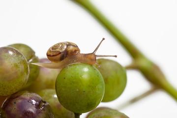 Schnecke auf Weintrauben