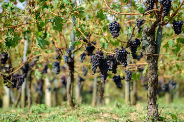 Sangiovese grapes in Montalcino, Italy