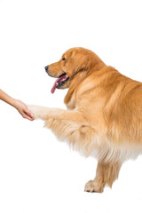 A cute Golden Retriever Puppy being trained to shake hands with