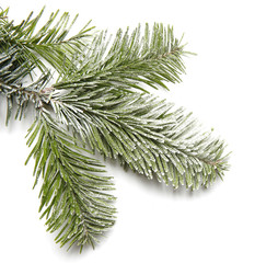 Snowy fir branch