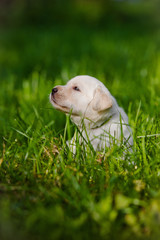 labrador puppy walking