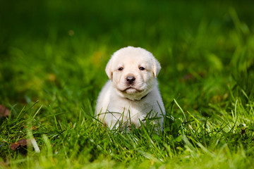 labrador puppy outdoors