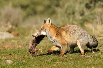 zorro con presa