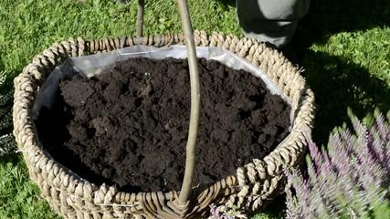 Heidekob bepflanzen