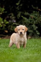Outdoor portrait of golden retriever puppy.