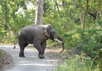 Tusker in the road of Jim Corbett
