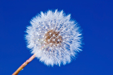 Dandelion flower on blue sky background