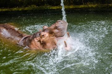 The hippopotamus (Hippopotamus amphibius) or hippo