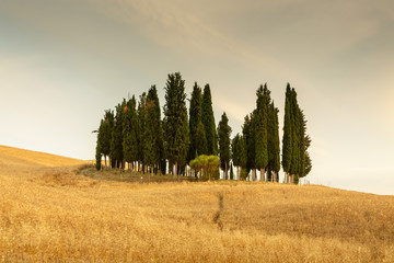 Group of cypress trees in Tuscany