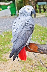 The African Grey Parrot (Psittacus erithacus)