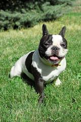Cute French bulldog on grass