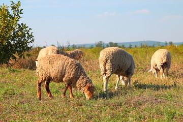 Sheeps graze on the meadow
