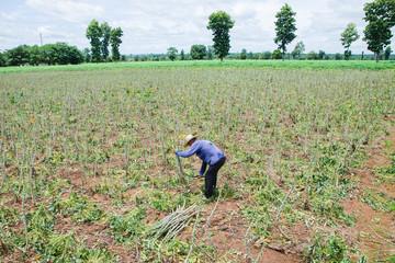 Farmer in cassava farm field, cutting cassava tree