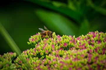 Wunderschöne Honigbine auf schönen Blumen