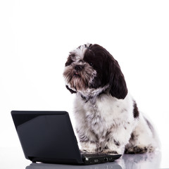 Shih tzu dog  with laptop.