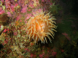 Anemone, Barents sea