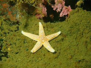 Starfish, Barents sea