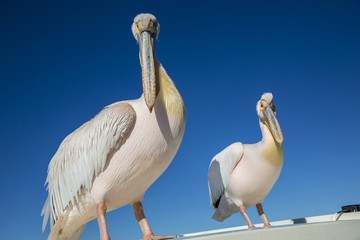 Pelicans in Namibia, catamaran