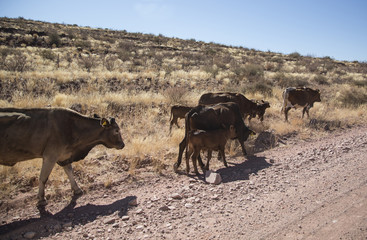 Grazing cows in Namibia
