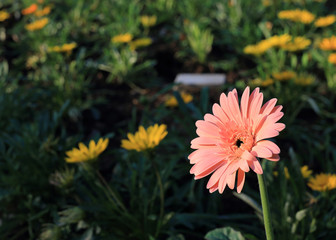 gerbera flower blooming
