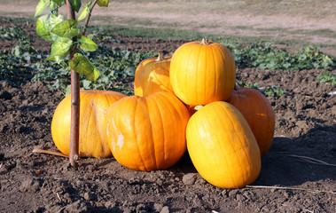 Heap of ripe pumpkins