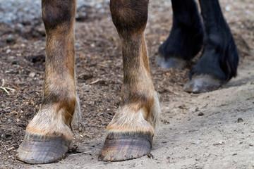 Rear hooves horse