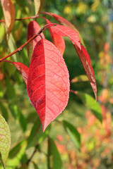 Autumn colors. Red  leaf against green background
