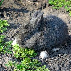 little rabbit eats the grass
