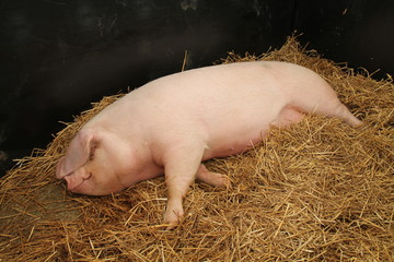 A Large Female Pig Laying on a Bed of Straw.