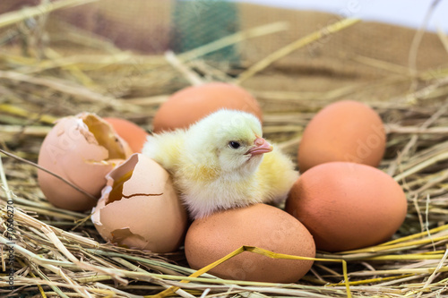 yellow small chick with egg in the nest - 70506270