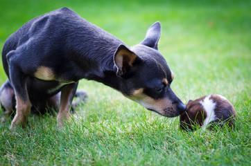 Garden meeting between pincher and hamster