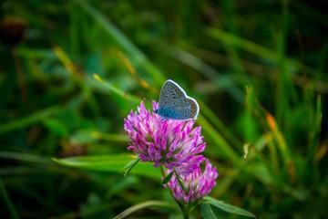 Blauer Schmetterling auf roten Klee Wunderschön