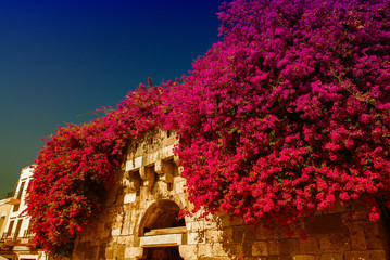 Bougainvillea flowers surrounding ancient arch