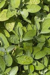 Sage leaves, Salvia officinalis.