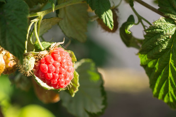 Raspberry berry on a branch shined with the sun