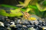 Fotoroleta Asian glass shrimp Macrobrachium lanchesteri in aquarium