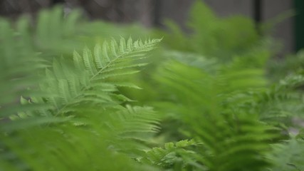Fern leaves in the wind